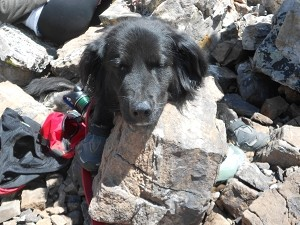 Kona resting his head at the top of Quandary Peak (14,271 ft.)